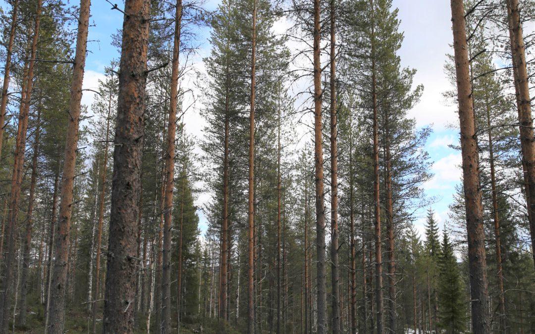 Puukauppa käy ja harventaminen kannattaa
