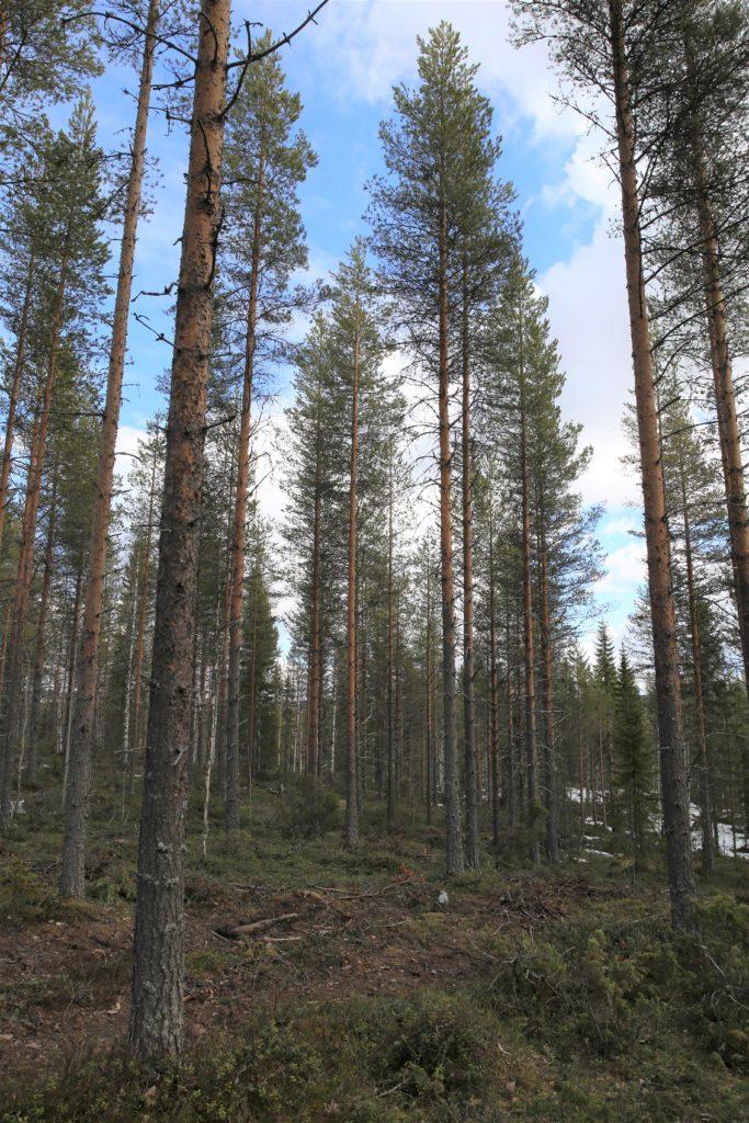 Harvennettu metsä tuottaa tuloja ja säilyttää arvonsa.