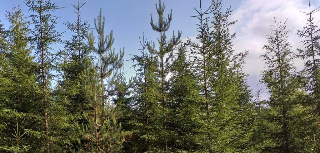 Hoidettu taimikko kasvaa vauhdilla nuoreksi kasvatusmetsäksi. Tällainen hoidettu metsä sitoo parhaiten hiiltä ja auttaa taistelussa ilmastonmuutosta vastaan.