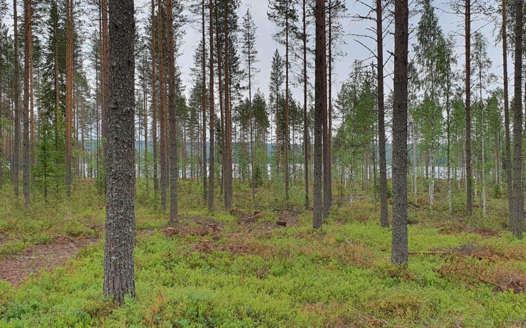 Oikea-aikaisella harvennuksella on tärkeä rooli metsän kasvussa